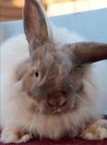 french angora rabbit, chocolate tort rabbit, angora rabbit