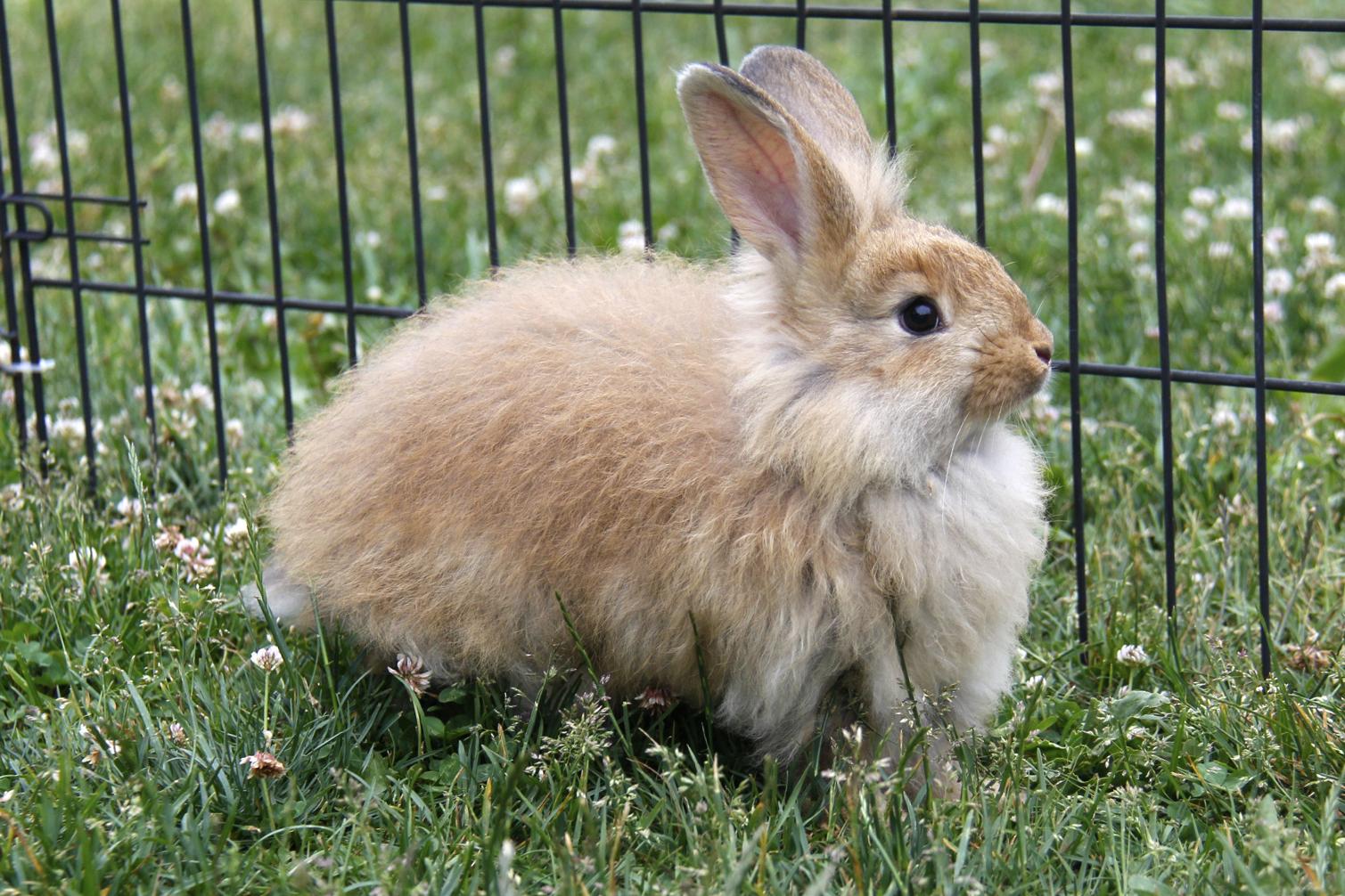 english angora rabbits - photo #47