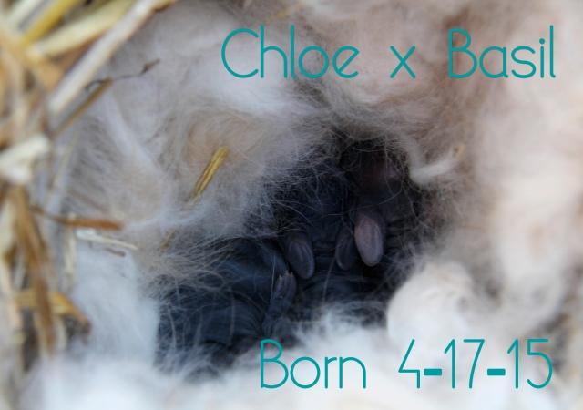 baby bunnies, angora rabbit babies, agouti rabbit kits, rabbit kits, black rabbit babies, french angora rabbit, french angora rabbits for sale