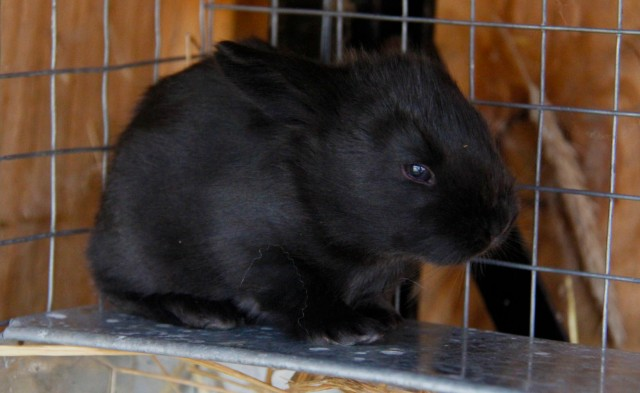 black baby rabbit, baby bunny black angora rabbit, french angora for sale