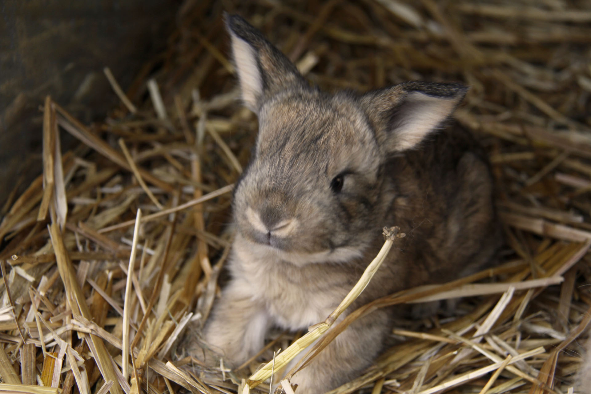 Baby angora rabbits