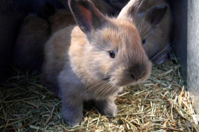 adorable baby bunny, cute, cute baby rabbit, angora rabbit baby, french angora