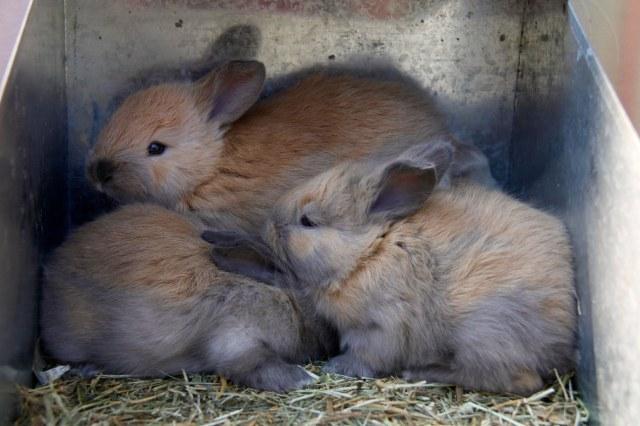baby french angora rabbit, baby bunnies